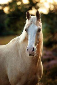 Voorbeeld fotoshoot paard