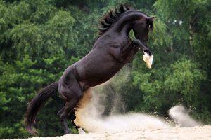 Voorbeeld fotoshoot paard met steigerende hengst