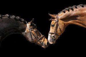 Blackfoto twee paarden