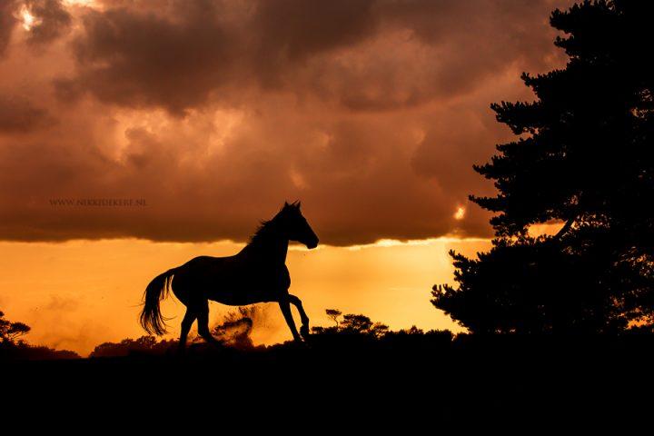 Moet een paard altijd de oren naar voren hebben?