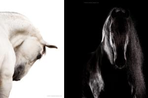 Voorbeeld equine fine art fotografie met wit en zwart paard