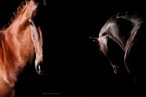 Fine art creatieve paardenfotografie van sportpaarden